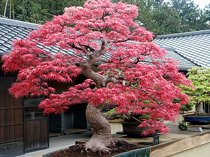 L rable du japon for Jardin japonais en pot